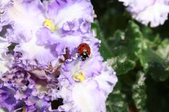 Coccinella sui fiori Immagine Stock