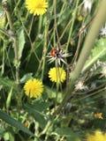 Coccinella sui fiori del dente di leone in primavera immagine stock libera da diritti
