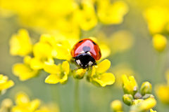 Coccinella sui fiori gialli Fotografia Stock Libera da Diritti