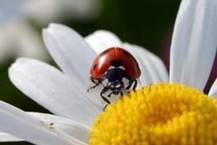 Coccinella sul fiore Fotografie Stock Libere da Diritti