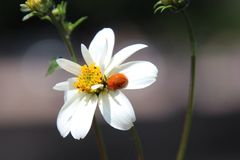 Coccinella sul fiore Immagine Stock Libera da Diritti