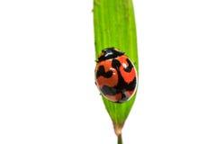 Coccinella sul foglio verde Fotografie Stock