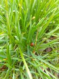 Coccinella sull'erba fotografia stock
