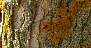 Coccinella sulla corteccia di un albero in autunno archivi video