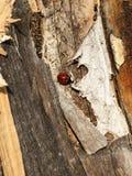Coccinella sulla corteccia di un albero in autunno Immagini Stock Libere da Diritti