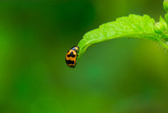 Coccinella sulla foglia verde Fotografia Stock