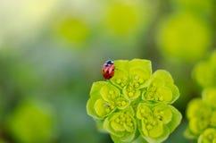 Coccinella in una pianta verde Immagine Stock