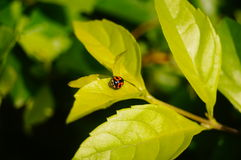 Coccinellaseptempunctata Royalty-vrije Stock Fotografie