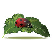 Coccinelle Image stock