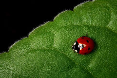 Coccinelle. Photographie stock