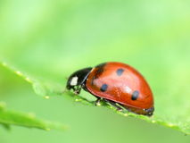 Coccinelle Photos stock