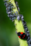 Coccinelle Photo stock