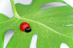 Coccinelle chanceuse Photographie stock
