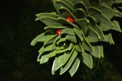 Coccinelle che si nascondono nell'albero dell'araucaria Immagini Stock Libere da Diritti