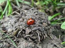 Coccinelle d'insecte sur la terre noire images stock
