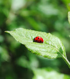 Coccinelle d'isolement Photo stock