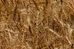 Coccinelle dans la chaîne ensoleillée de blé Photographie stock libre de droits