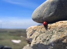 Coccinelle de déplacement 1 Photo stock