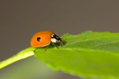 Coccinelle de deux points Image stock