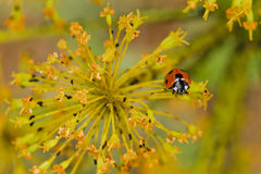 coccinelle de Sept-tache Photo stock