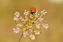 coccinelle de Sept-tache Photographie stock