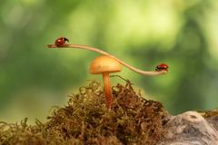 Coccinelle del primo piano che oscillano sul ramo sul fungo su fondo verde Fotografia Stock