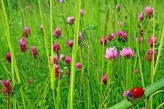 Coccinelle en herbe Photographie stock libre de droits