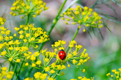 Coccinelle et aneth Photo stock