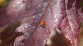 Coccinelle et fourmi Photo libre de droits