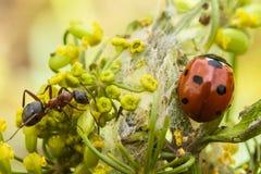 Coccinelle et fourmi sur une fleur Images stock