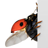 Coccinelle et panneau blanc Royalty Free Stock Photos