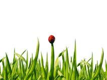 Coccinelle fonctionnant le long de l'herbe verte sur le blanc Photos libres de droits