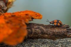 Coccinelle orange Image libre de droits