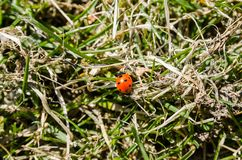 Coccinelle rampant sur l'herbe photographie stock