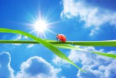 Coccinelle regardant sur le soleil Photographie stock libre de droits