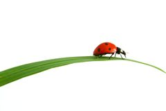 Coccinelle rouge Photo stock