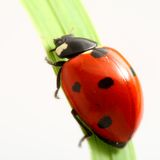 Coccinelle rouge Photographie stock