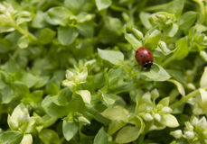 Coccinelle rouge dans une herbe image stock