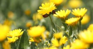 Coccinelle su un fiore della margherita archivi video