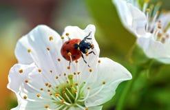 Coccinelle sur des fleurs de ressort photographie stock libre de droits