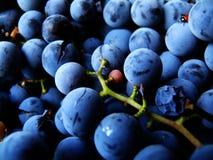 Coccinelle sur des raisins Photo stock