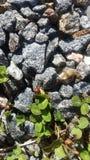 Coccinelle sur des roches Photographie stock