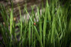 Coccinelle sur l'herbe Image stock