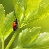 Coccinelle sur l'herbe de persil. photos libres de droits