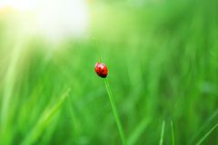 Coccinelle sur l'herbe verte image stock