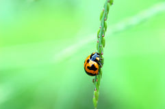 Coccinelle sur la feuille Photo stock