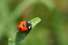 Coccinelle sur la feuille verte. Instruction-macro Photo libre de droits