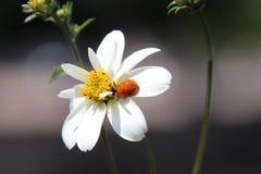 Coccinelle sur la fleur Image libre de droits