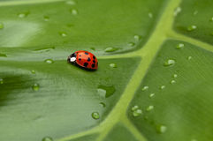 Coccinelle sur la lame Photo stock