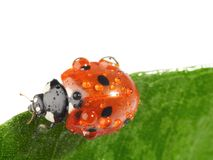 Coccinelle sur la lame verte photos stock